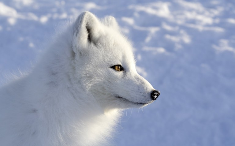 Gambar Hewan Langka Serigala Putih