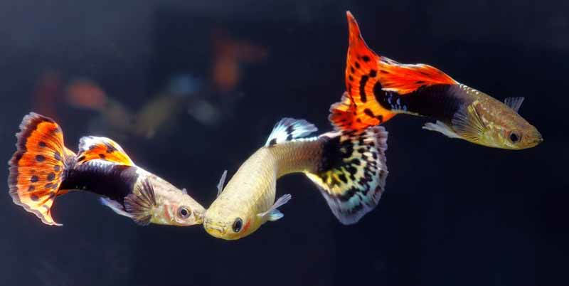ikan hias paling mahal