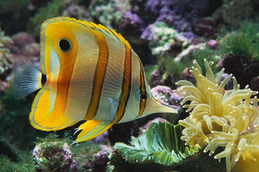 Ikan Hias Butterfly Fish